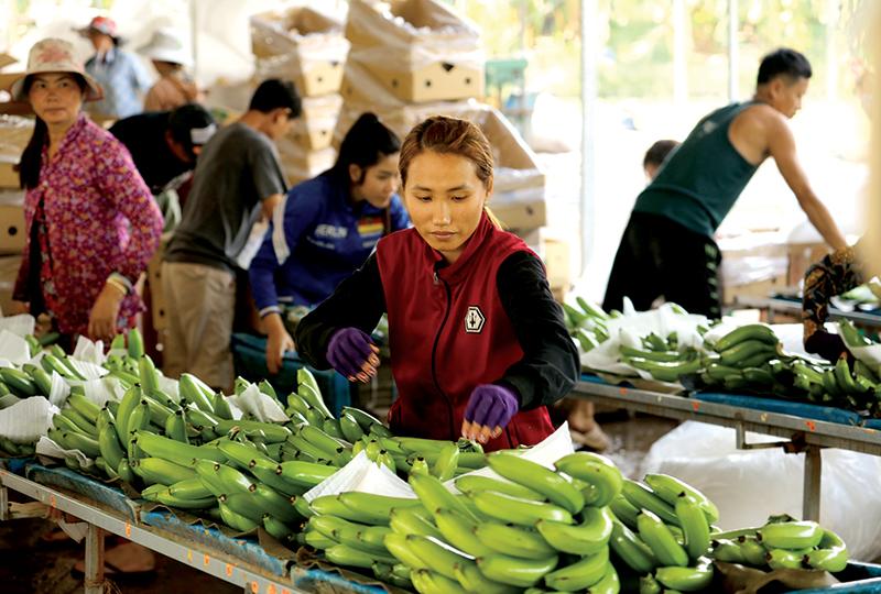 Sản phẩm chuối xuất khẩu của tổ hợp tác Lâm Phát Hưng. Ảnh: CHÂU LAN