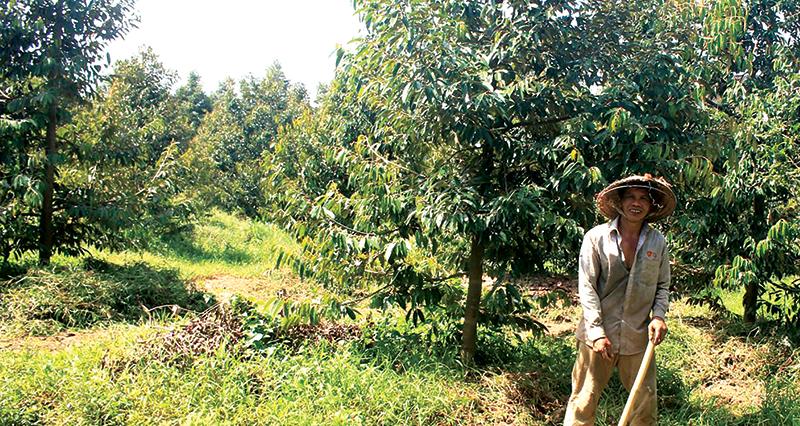Vườn sầu riêng  của ông Huỳnh Hữu Hiệp ở xã Hòa Nghĩa, huyện Chợ Lách, tỉnh Bến Tre. Ảnh: KHÁNH TRUNG