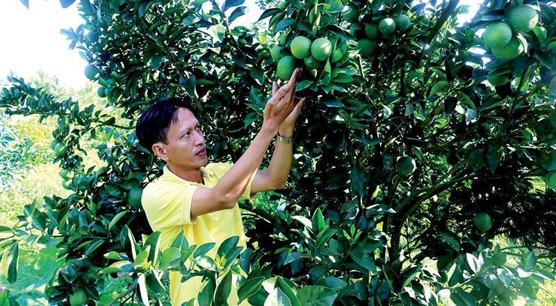 Mô hình hợp tác trồng cam xoàn, góp phần nâng cao đời sống kinh tế cho nhiều nhà vườn ở phường Thới An, quận Ô Môn. Ảnh: M.HOA