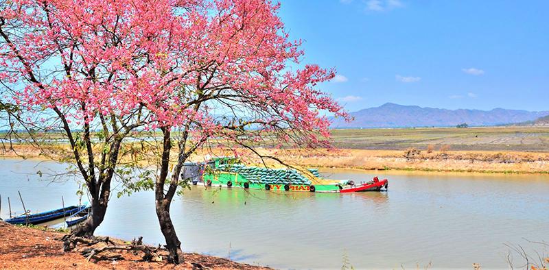 Bông ô môi nhuộm hồng cả trời biên giới. Ảnh: DU MIÊN