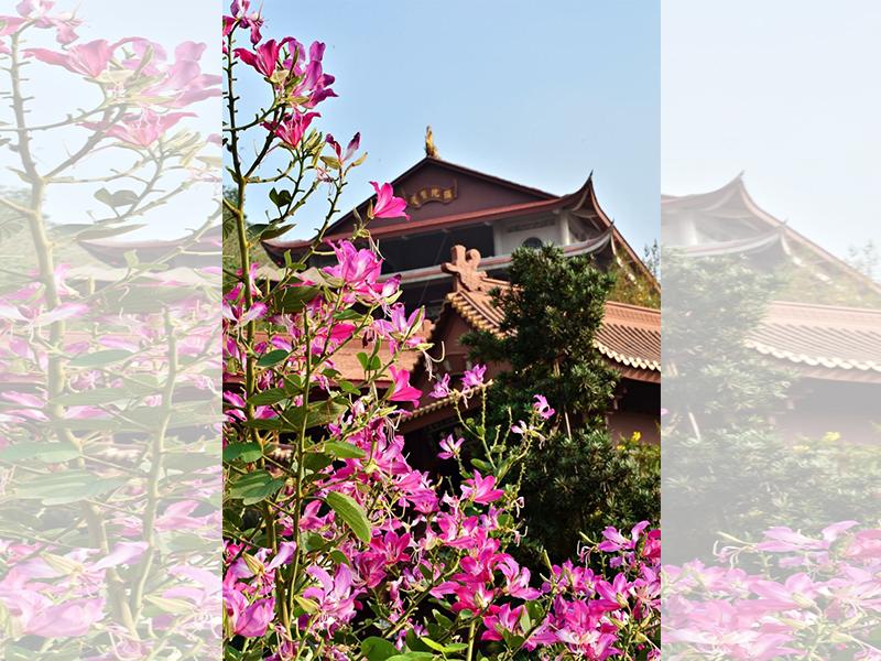 Hoa ban đỏ khoe sắc ở chùa Hang. Ảnh: DU MIÊN