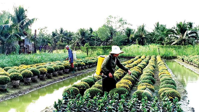 Người trồng hoa tích cực chăm sóc hoa bán Tết.