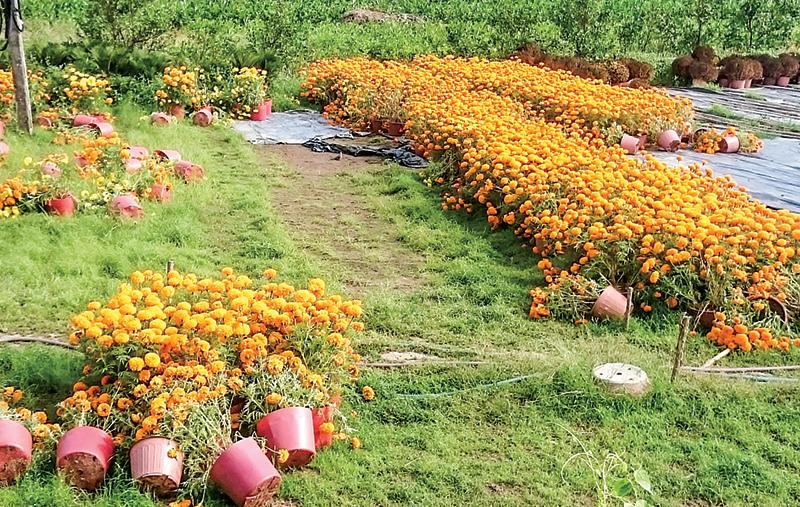 Những chậu hoa vạn thọ không tiêu thụ được, phải bỏ phế sau Tết Nguyên đán 2018 tại vườn của một hộ dân ở xã Long Thới, huyện Chợ Lách, tỉnh Bến Tre. Ảnh: KHÁNH TRUNG