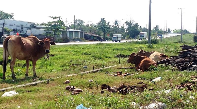 Nhiều người dân tận dụng khoảng đất trống giữa hai làn đường để chăn thả bò. Bò phóng uế và qua đường gây mất vệ sinh, an toàn giao thông.