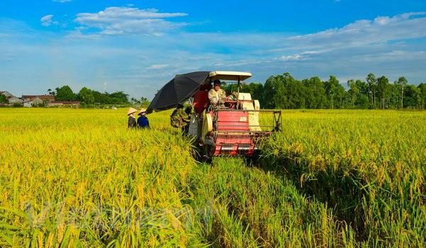Thu hoạch lúa tại Đồng bằng sông Cửu Long. Ảnh: Lê Minh Sơn/Vietnam+