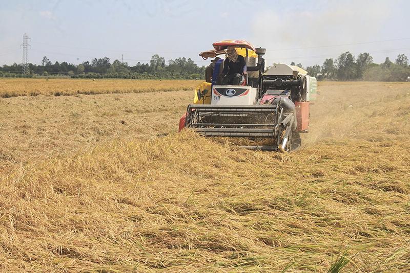 Thu hoạch lúa bằng máy gặt đập liên hợp tại ruộng lúa của ông Nguyễn Thanh Hải, xã Đông Hiệp, huyện Cờ Đỏ. Ảnh: KHÁNH TRUNG