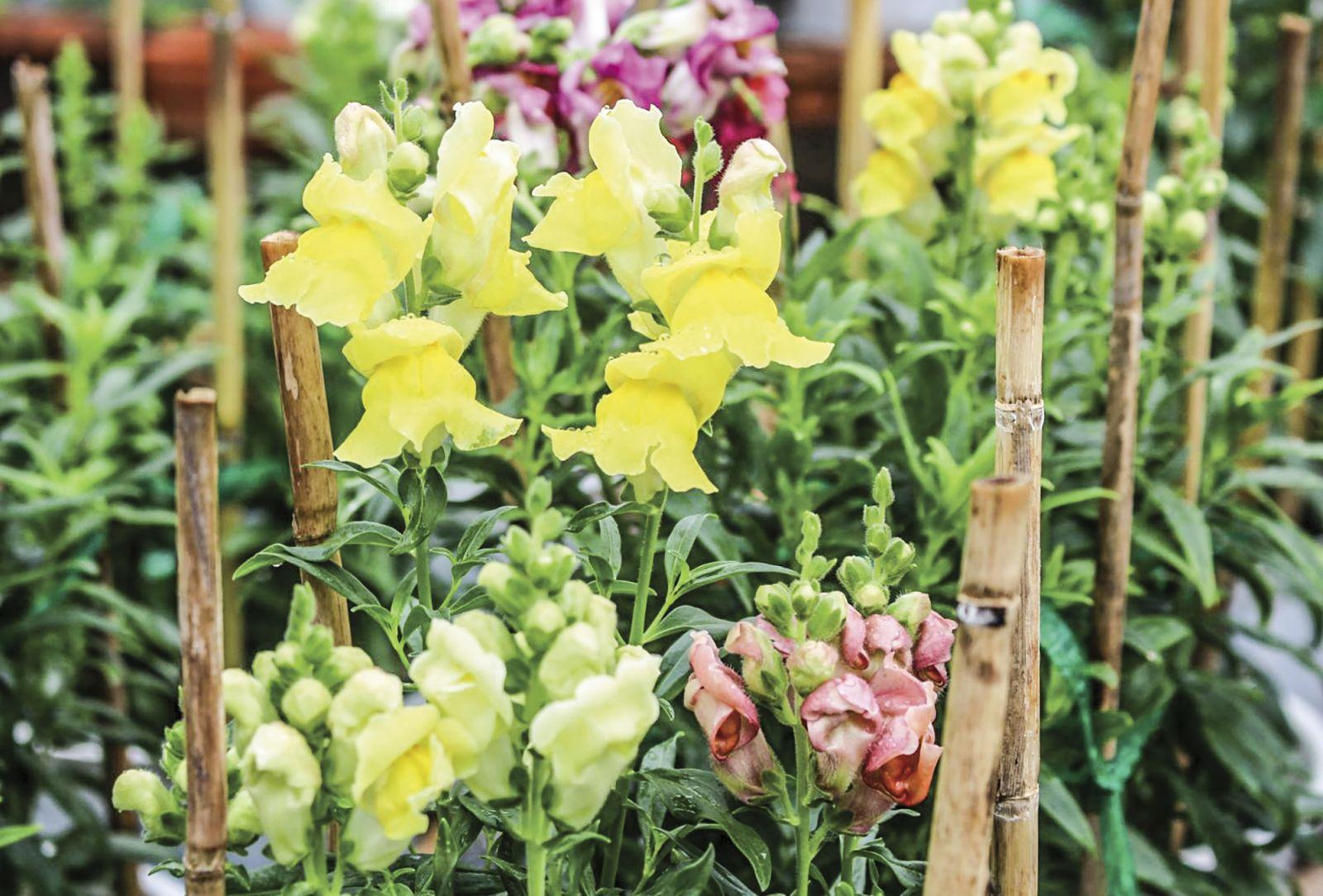 Những loại hoa mới được HTX hoa kiểng Phó Thọ đầu tư sản xuất trong dịp Tết Mậu Tuất và đầu năm 2018. Ảnh: HÀ VĂN