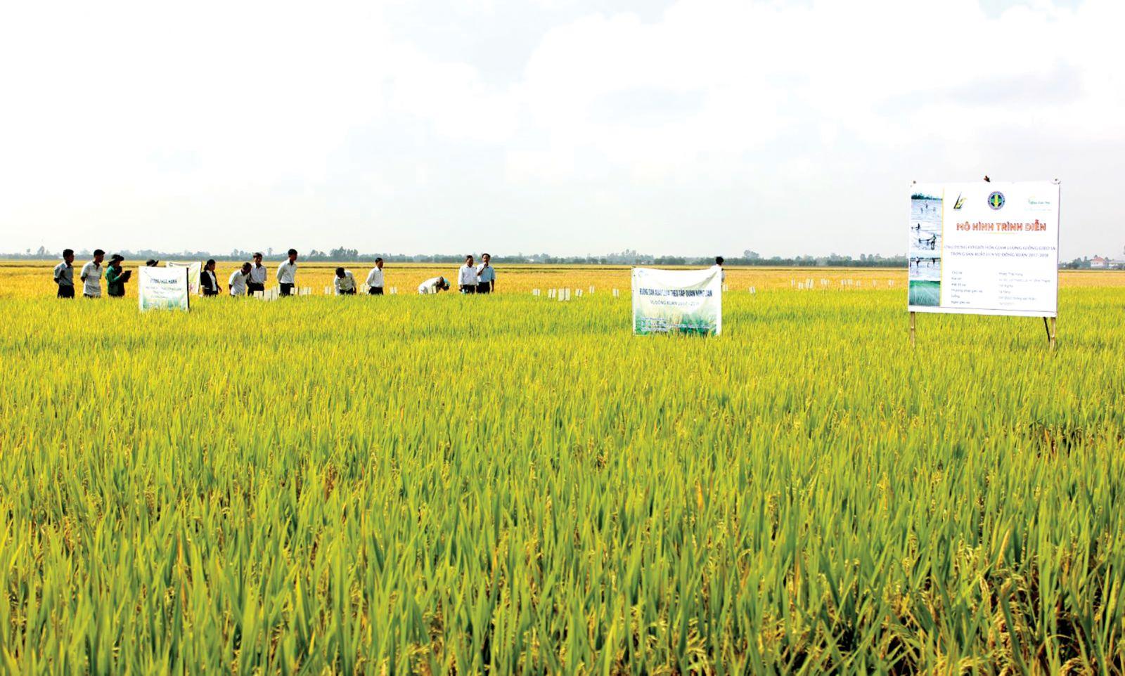 Ruộng mô hình ứng dụng cơ giới hóa giảm lượng giống gieo sạ tại huyện Vĩnh Thạnh cho lợi nhuận cao. Ảnh: ANH KHOA