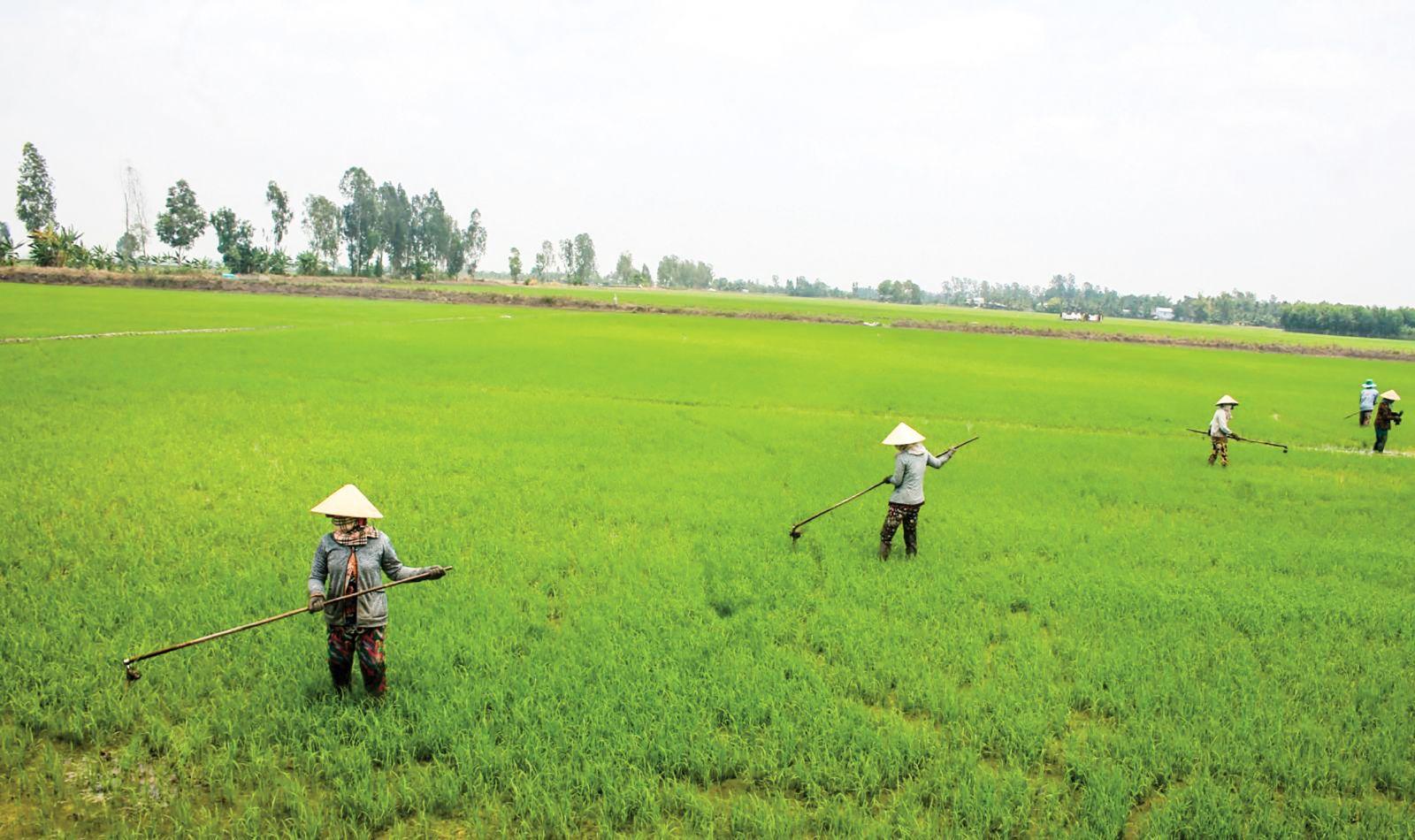 Nông dân xã Thạnh Phú, huyện Cờ Đỏ chăm sóc ruộng lúa hè thu 2018 giai đoạn mạ sinh trưởng. Ảnh: KHÁNH TRUNG