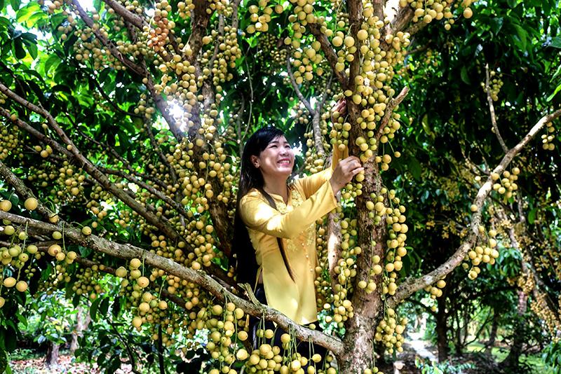 Du lịch sinh thái là loại hình các chuyên gia đánh giá cao ở vùng ĐBSCL. Trong ảnh: Du khách trải nghiệm du lịch sinh thái ở Phong Điền với những vườn dâu trĩu quả. Ảnh: ÁI LAM