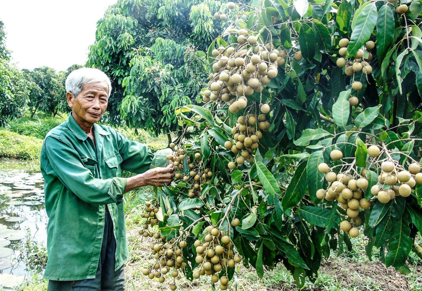 Nông dân xã Định Môn trồng nhãn IDO cho hiệu quả kinh tế cao. Ảnh: NGỌC QUYÊN