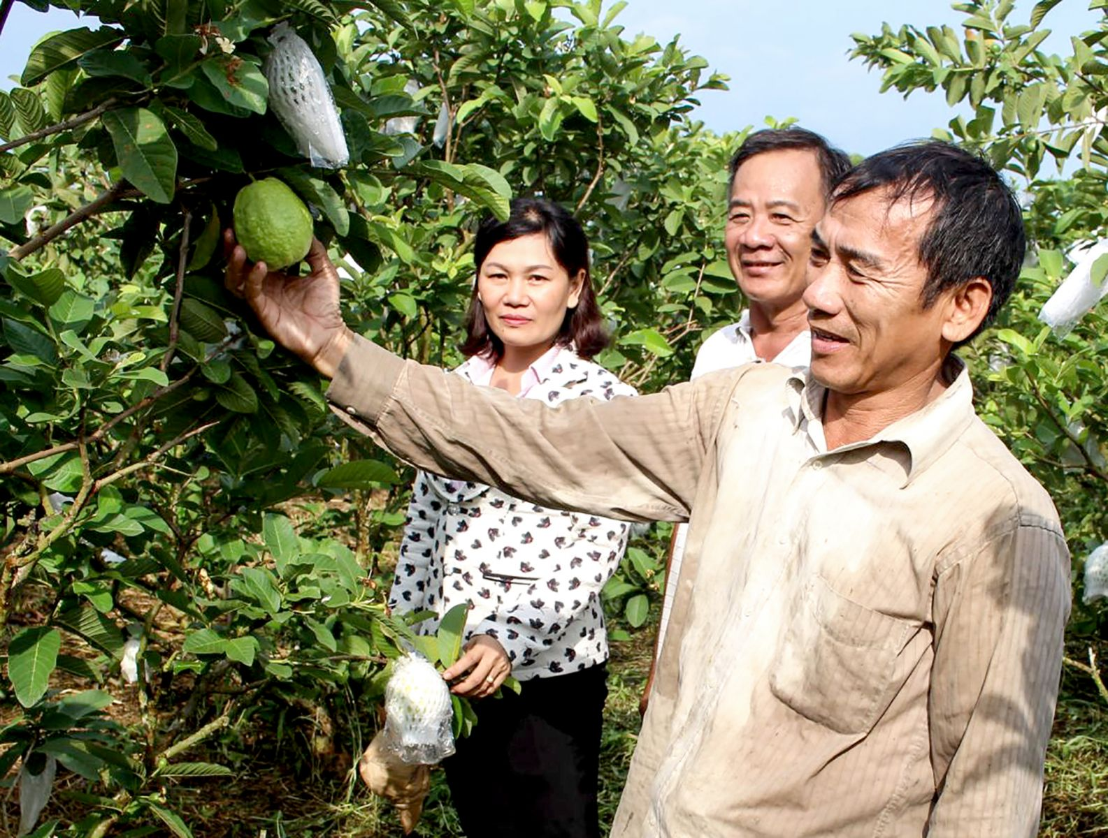 Lãnh đạo Hội Nông dân phường Thường Thạnh và hội viên nông dân đến tham quan mô hình trồng ổi lê của ông Tiến. Ảnh: THANH THƯ