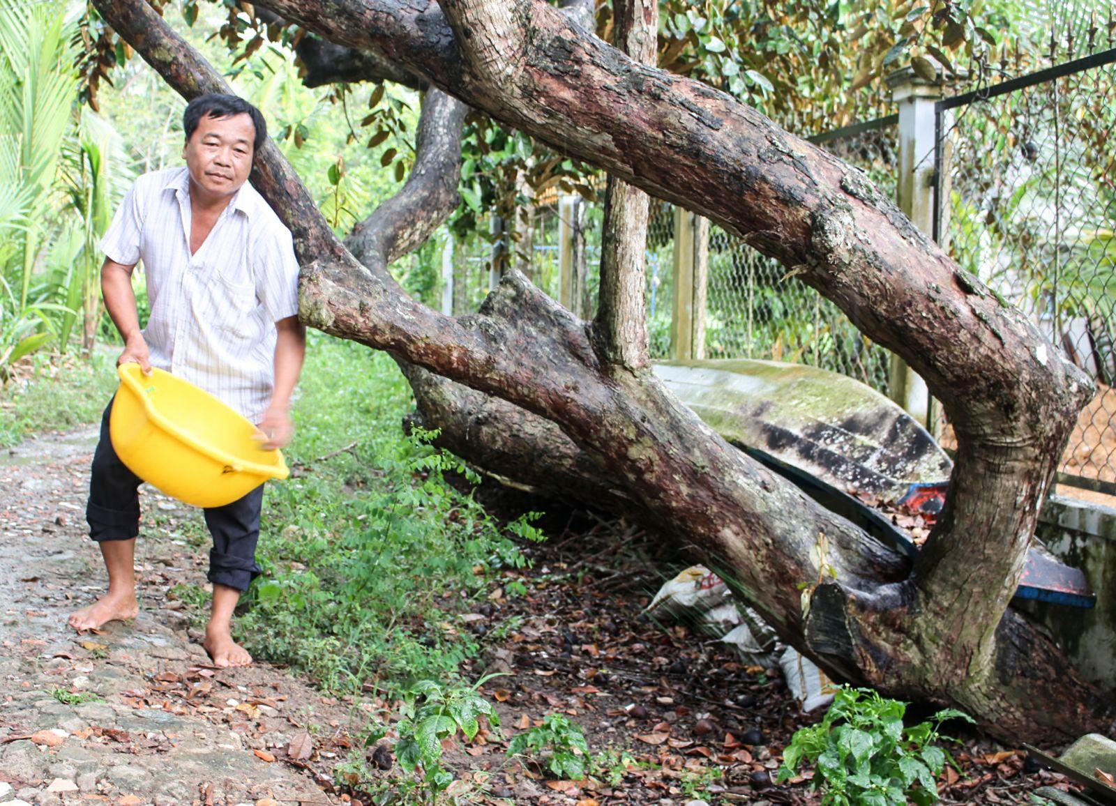 Tranh thủ những cơn mưa đầu mùa, ông Nguyễn Văn Tập bón phân thúc để cây vú sữa ra hoa nghịch vụ. Ảnh: K.V