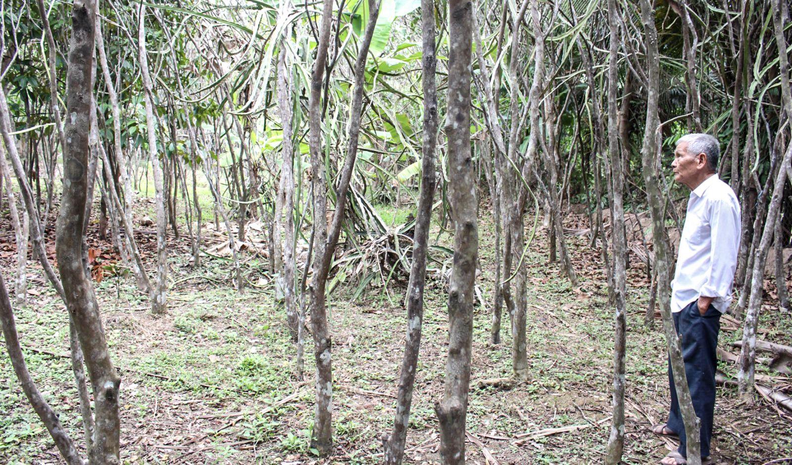 Vườn cam sành của ông Huỳnh Hữu Trạng bị già cỗi, không có thu nhập khoảng 10 năm qua. Ảnh: THANH THƯ