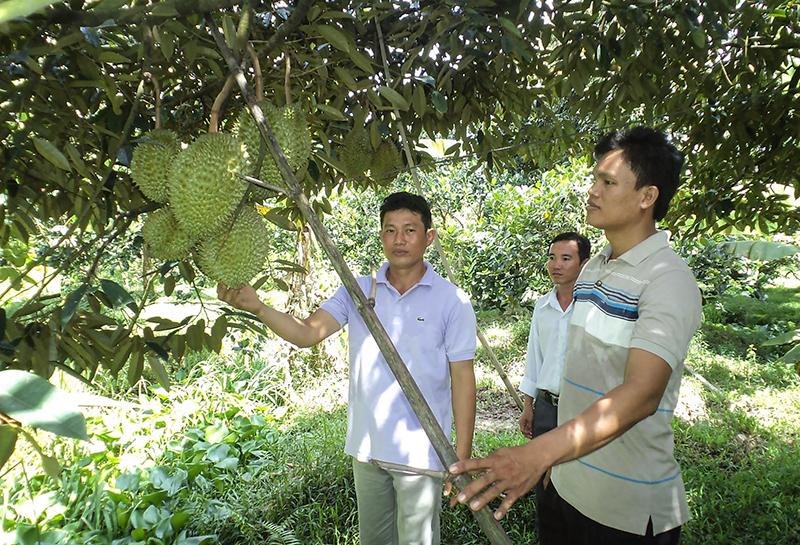 Các thành viên tổ hợp tác sầu riêng Tân Thới tham quan vườn sâu riêng của anh Lê Hoàng Thông. Ảnh:QT