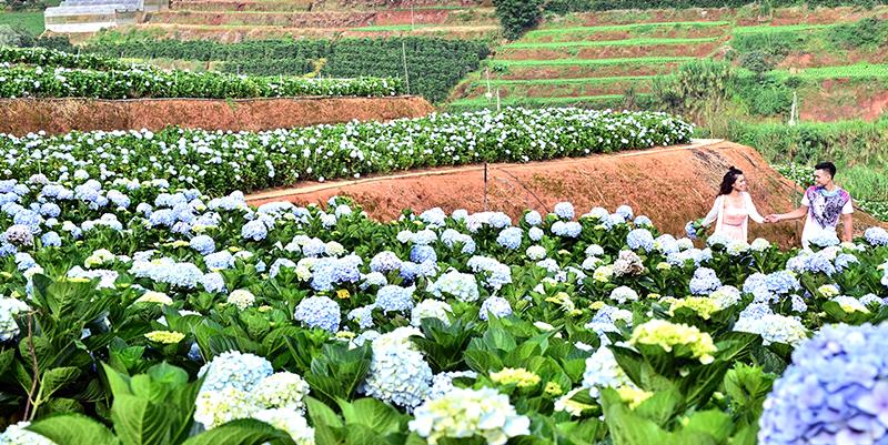 Vườn cẩm tú cầu mênh mông ở Trại Mát. Ảnh: DU MIÊN