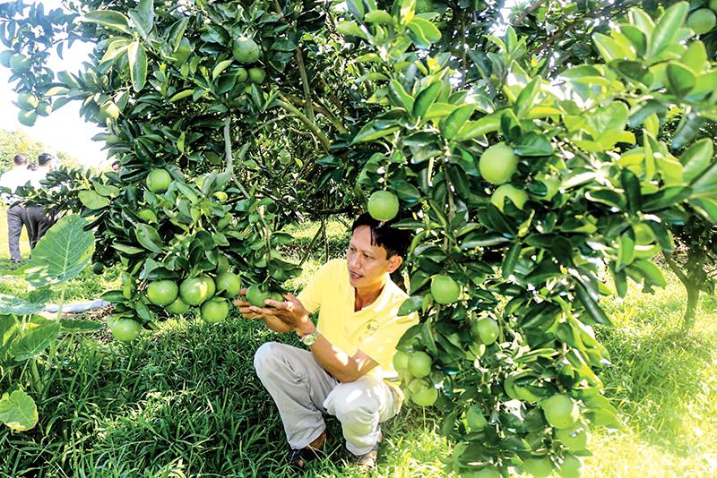 Mô hình trồng cam xoàn theo tiêu chuẩn VietGAP của HTX cam xoàn Thới An, phường Thới An, quận Ô Môn cho hiệu quả kinh tế cao, góp phần nâng cao thu nhập và cải thiện đời sống cho nhiều nhà vườn. Ảnh: M.HOA
