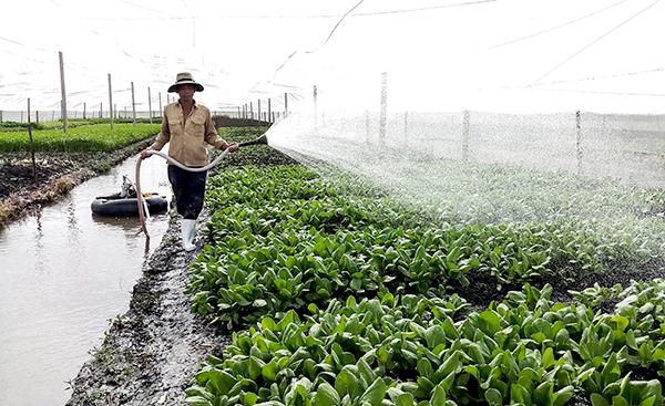 Sản xuất rau an toàn tại Tổ hợp tác Rau an toàn phường Hưng Thạnh. Ảnh: MỸ THANH