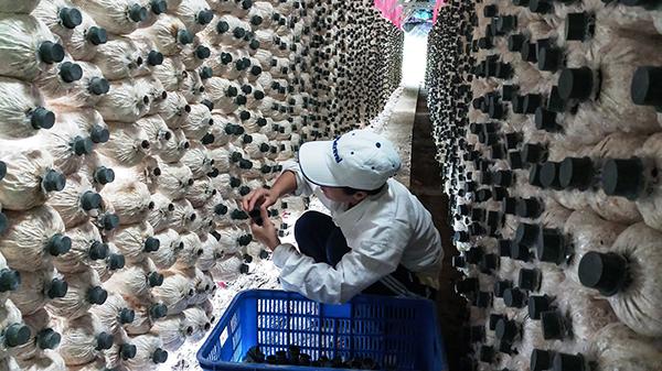 Sản xuất nấm bào ngư tại Trang trại Nấm sạch Thami. Ảnh: MỸ THANH