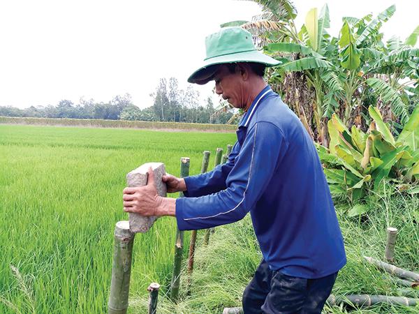 Nông dân huyện Vĩnh Thạnh đóng cừ, gia cố đê bao bảo vệ lúa thu đông khi nước lũ về. Ảnh: HÀ VĂN