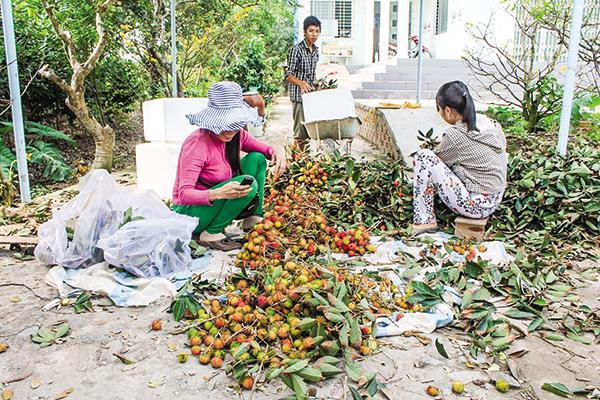 Thu hoạch chôm chôm tại một hộ dân ở huyện Chợ Lách, tỉnh Bến Tre. Ảnh: Khánh Trung