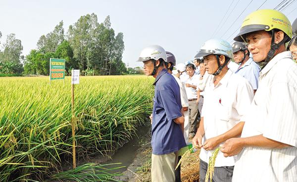 Nông dân huyện Cờ Đỏ, TP Cần Thơ tham quan mô hình sản xuất lúa an toàn, hiệu quả. Ảnh: Lạc Mẫn