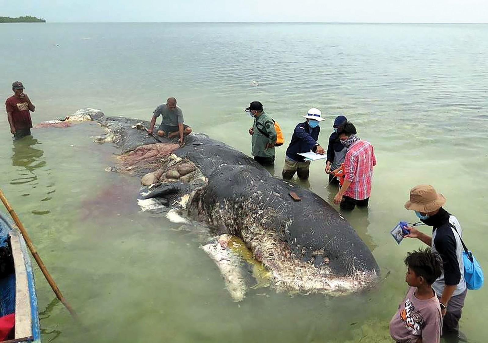 Cá voi chết vì nuốt rác thải nhựa dạt vào bờ biển Indonesia. Ảnh: Reuters
