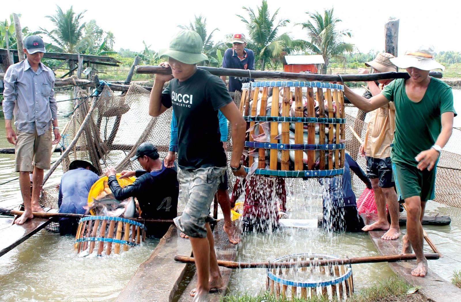 Thu hoạch cá tra tại một hộ dân ở quận Thốt Nốt, TP Cần Thơ. Ảnh: KHÁNH TRUNG