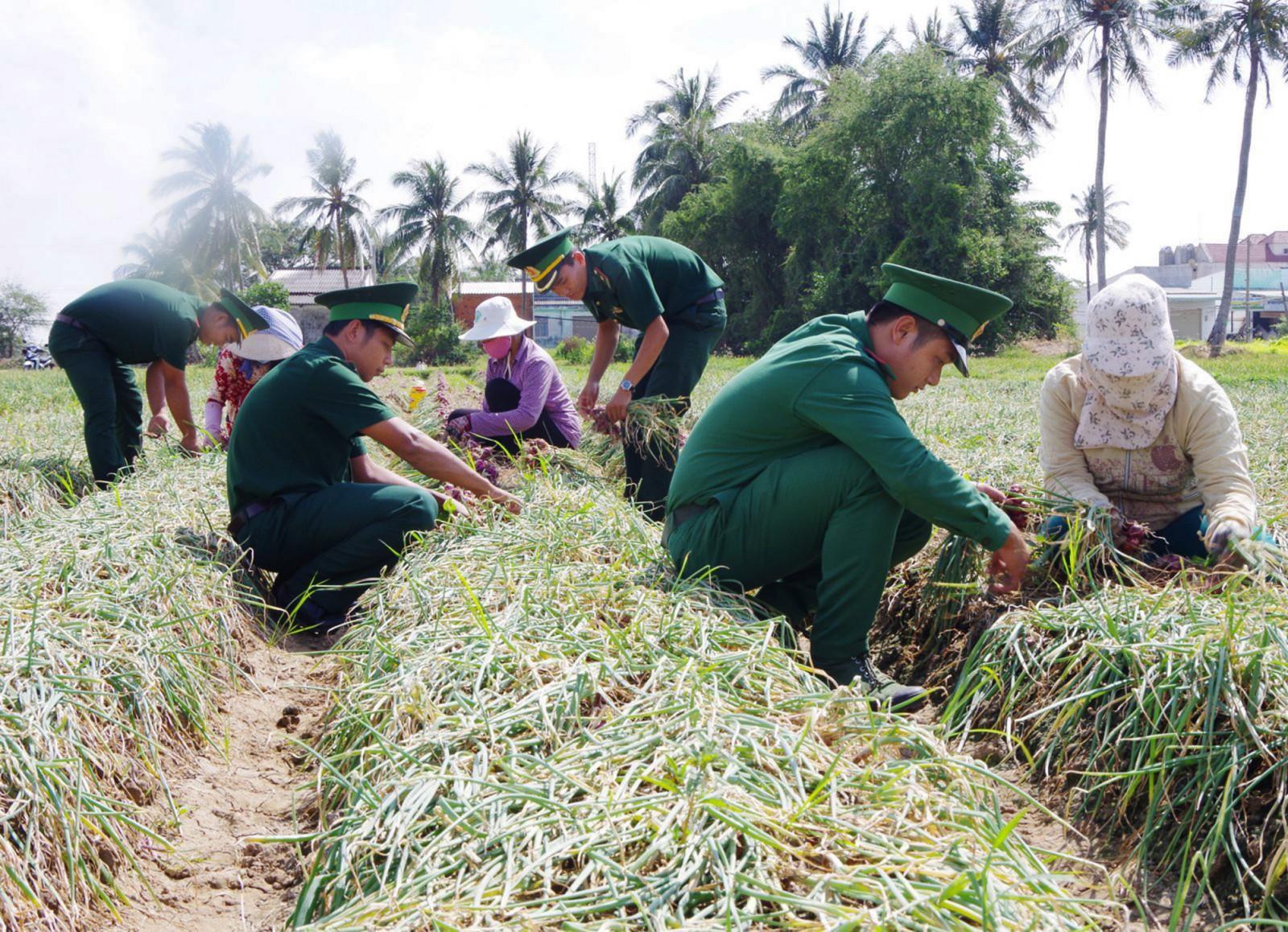 Cán bộ chiến sĩ Bộ đội Biên phòng Sóc Trăng giúp dân thu hoạch hành tím. Ảnh: VĂN LONG