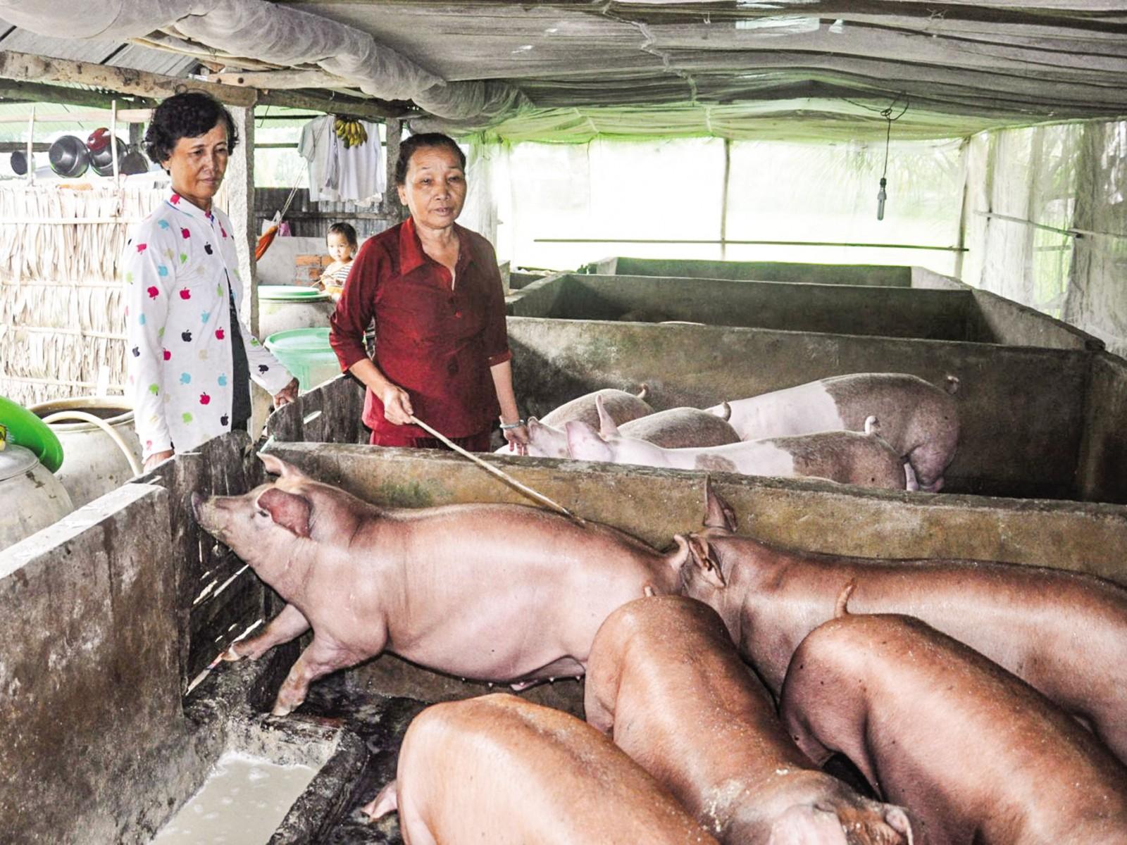 Đàn heo nuôi trên địa bàn huyện Cờ Đỏ, TP Cần Thơ an toàn vệ sinh chuồng trại, đảm bảo công tác phòng chống dịch. Ảnh: HÀ VĂN