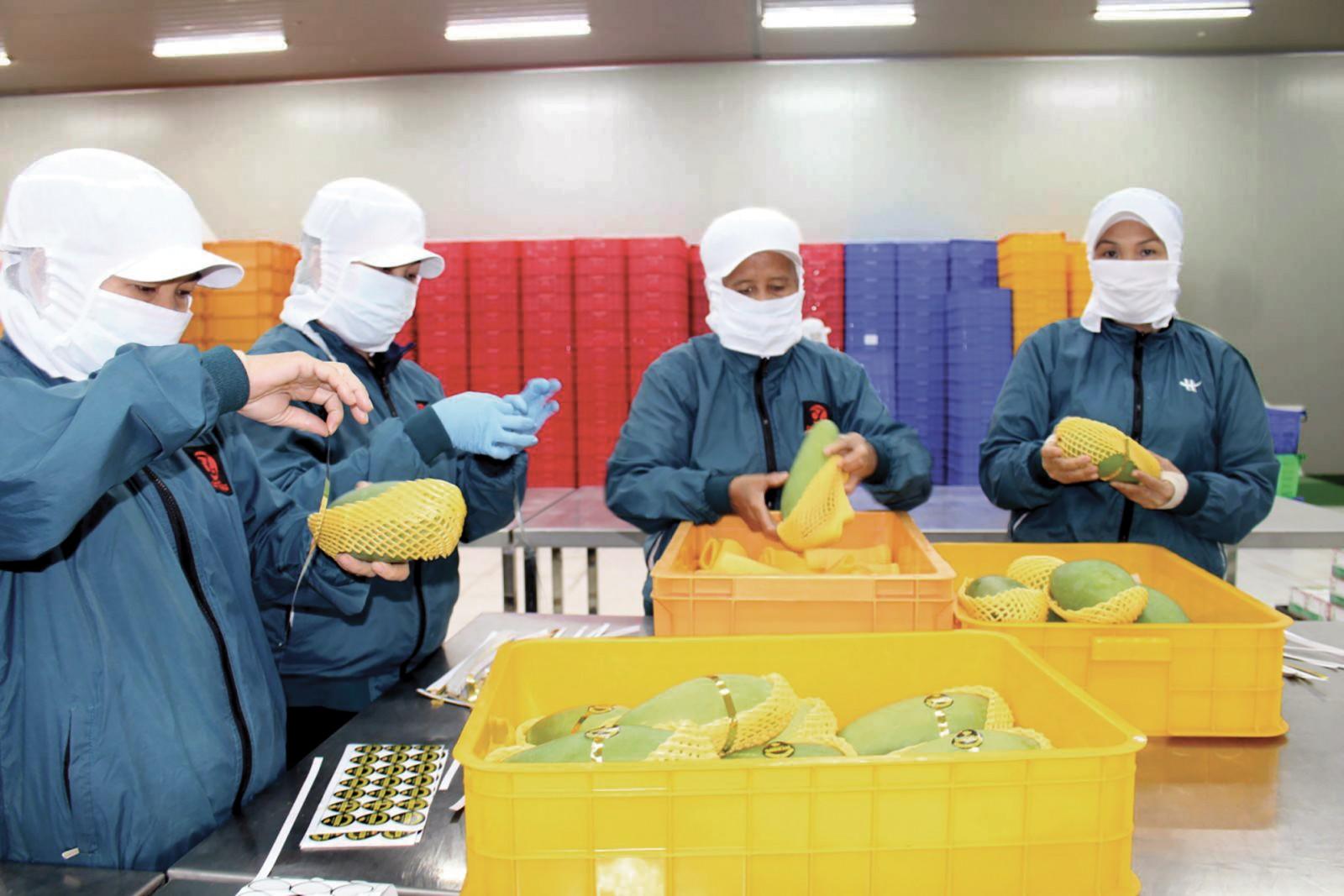 Nhân công đóng gói xoài xuất khẩu tại một doanh nghiệp. Ảnh: T.C