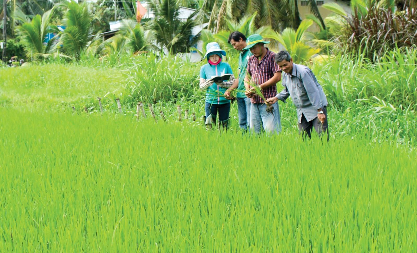 Nông dân huyện Vũng Liêm, tỉnh Vĩnh Long giảm lượng giống lúa gieo sạ xuống còn 80-120kg/ha. Ảnh: MINH HUYỀN