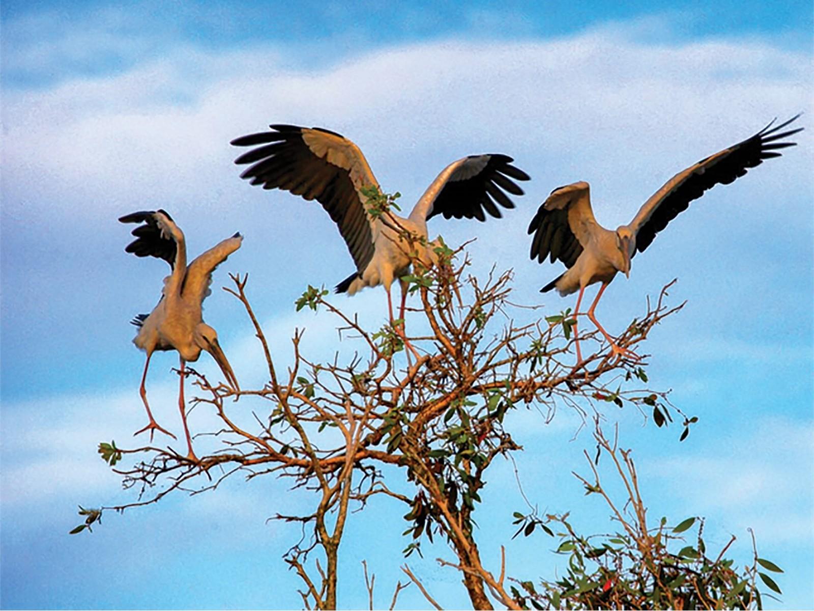 Những đàn chim sải cánh bay về tổ tạo nên bức tranh thiên nhiên sinh động cho rừng tràm (nguồn ảnh: Internet).