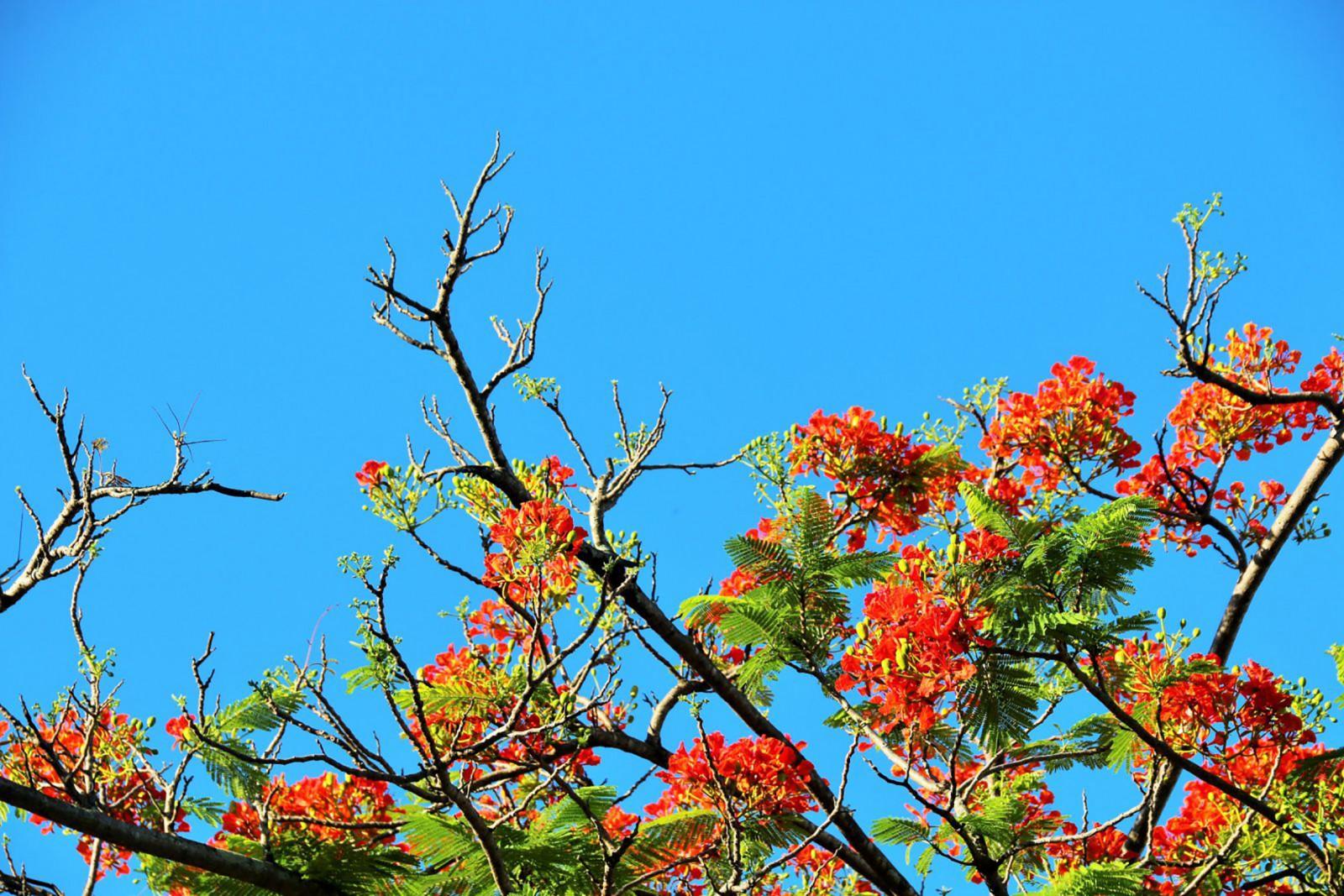 Phượng vĩ- loài hoa đặc trưng của TP Hải Phòng. Ảnh: DUY KHÔI