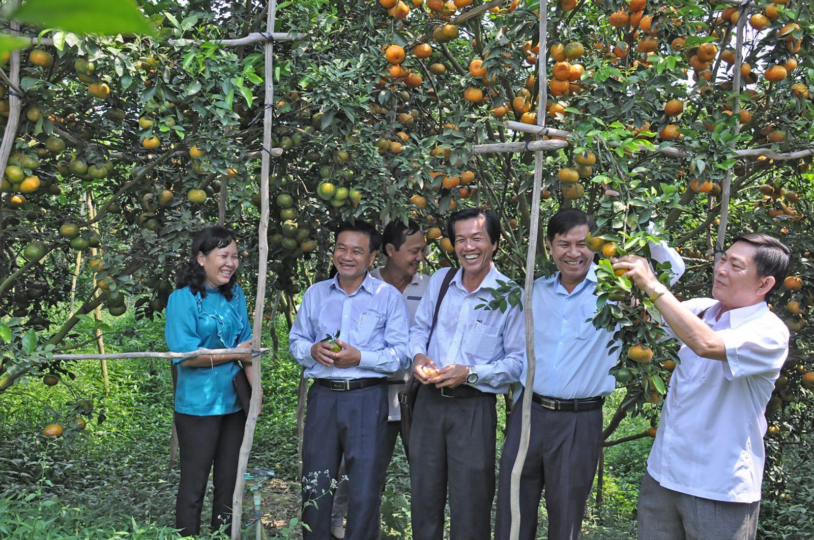 Vườn quýt hồng Lai Vung, Đồng Tháp. Ảnh: NGUYỄN TOÀN