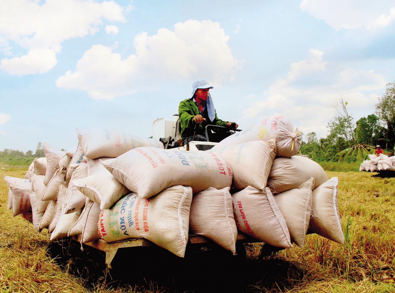 """Thu hoạch lúa tại một """"Cánh đồng lớn"""" trên địa bàn TP Cần Thơ. Ảnh: MỸ THANH"""