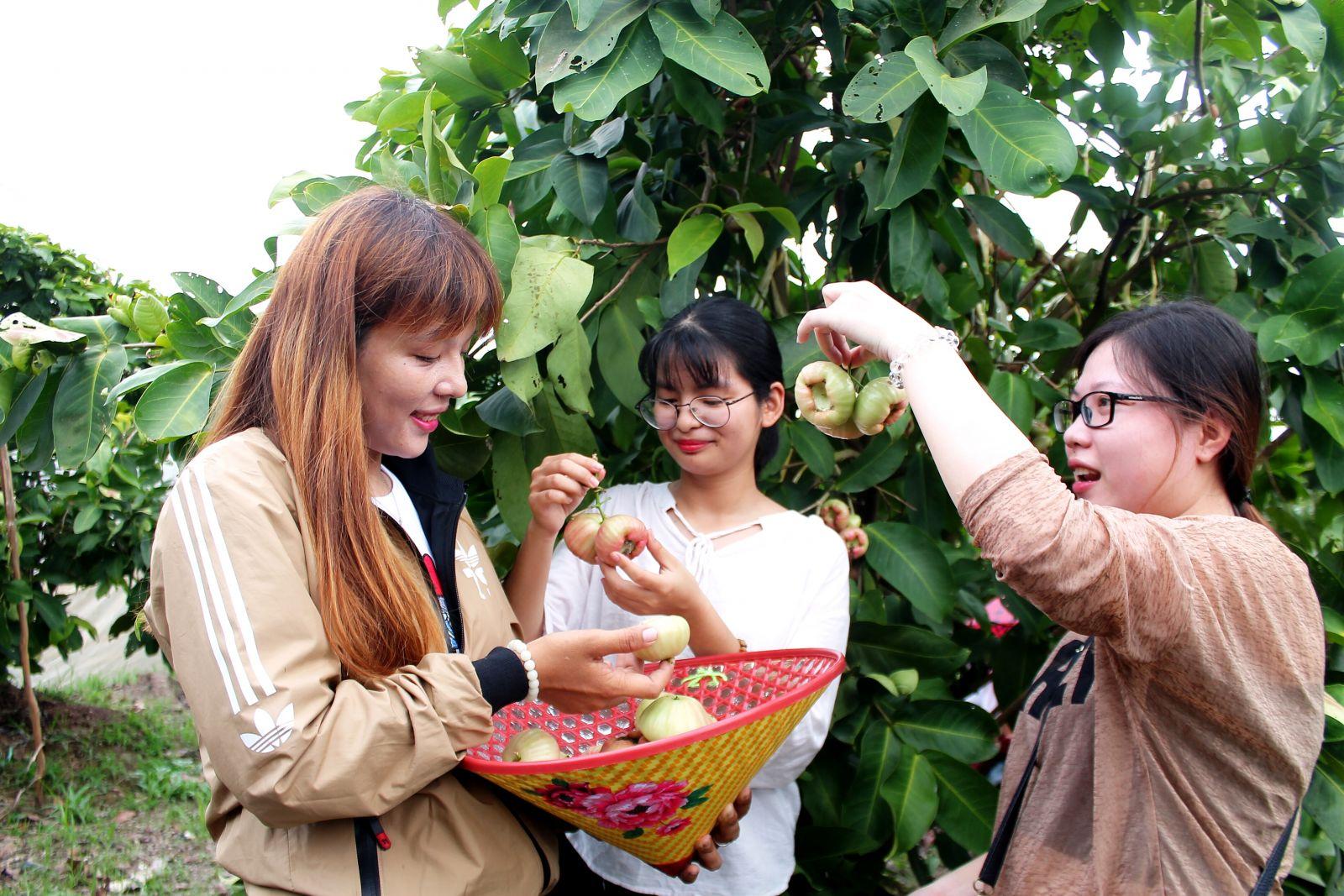 Khách trực tiếp hái trái cây và thưởng thức tại vườn.