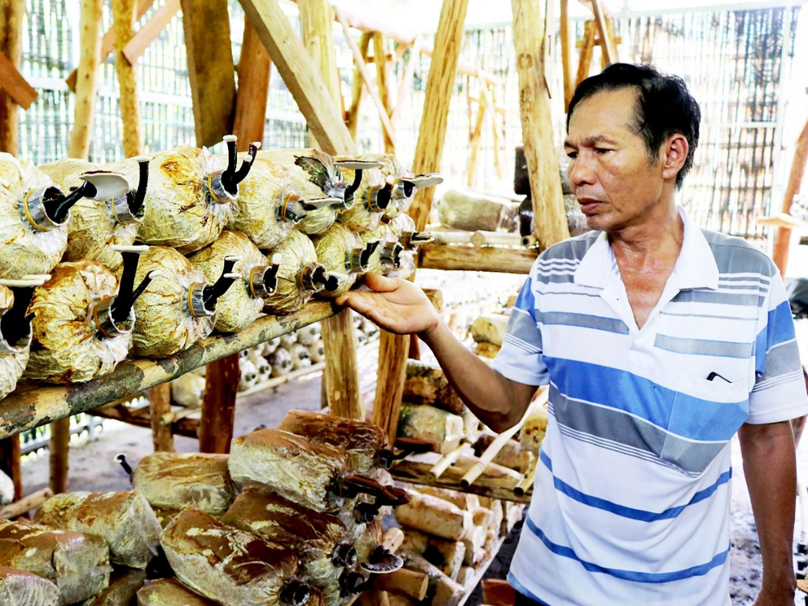 Bảo tồn nguồn gen nấm Linh chi tại Vườn quốc gia Phước Bình, xã Phước Bình, huyện Bác Ái, tỉnh Ninh Thuận. Ảnh: Nguyễn Thành – TTXVN