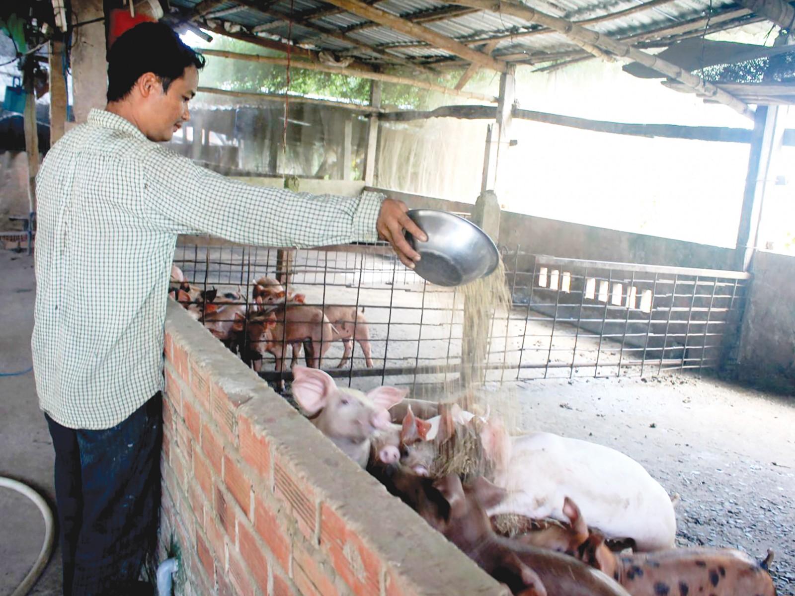 Chăn nuôi heo tại một hộ dân ở quận Ô Môn, TP Cần Thơ.