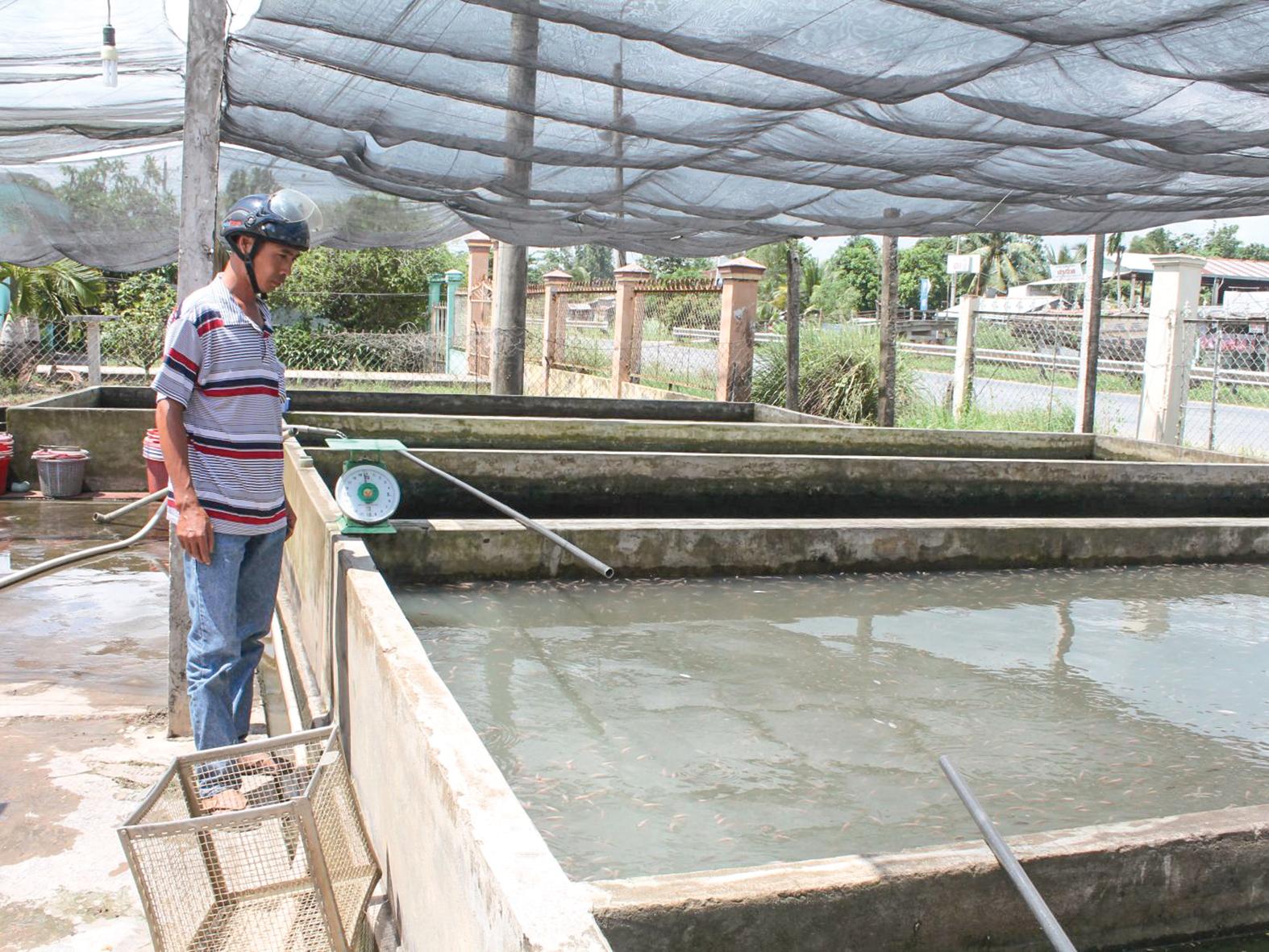 Người dân đến chọn mua cá giống tại một cơ sở sản xuất kinh doanh cá giống ở quận Ô Môn, TP Cần Thơ.