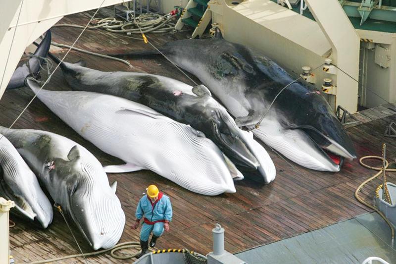 Kết quả hình ảnh cho cá voi nhật