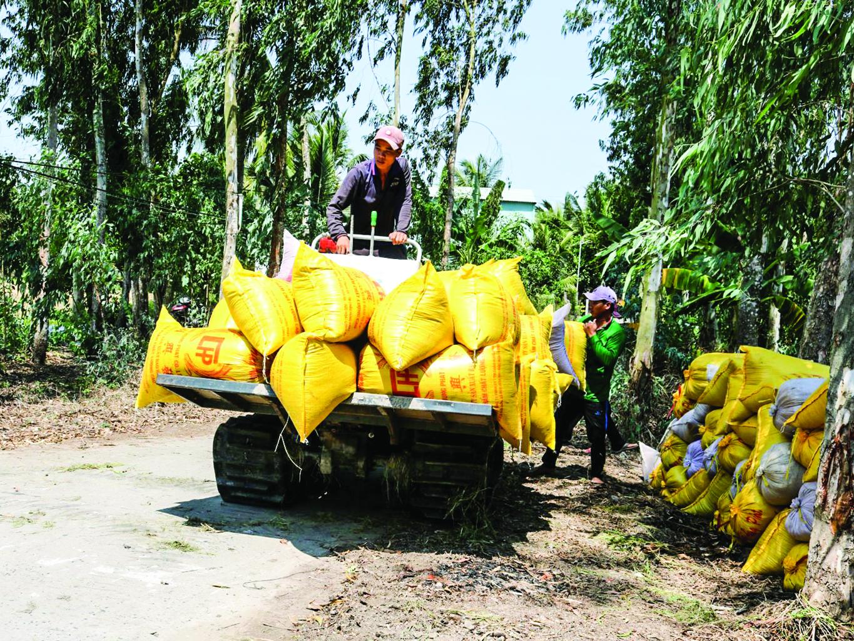Thu hoạch lúa ở huyện Cờ Đỏ, TP Cần Thơ.