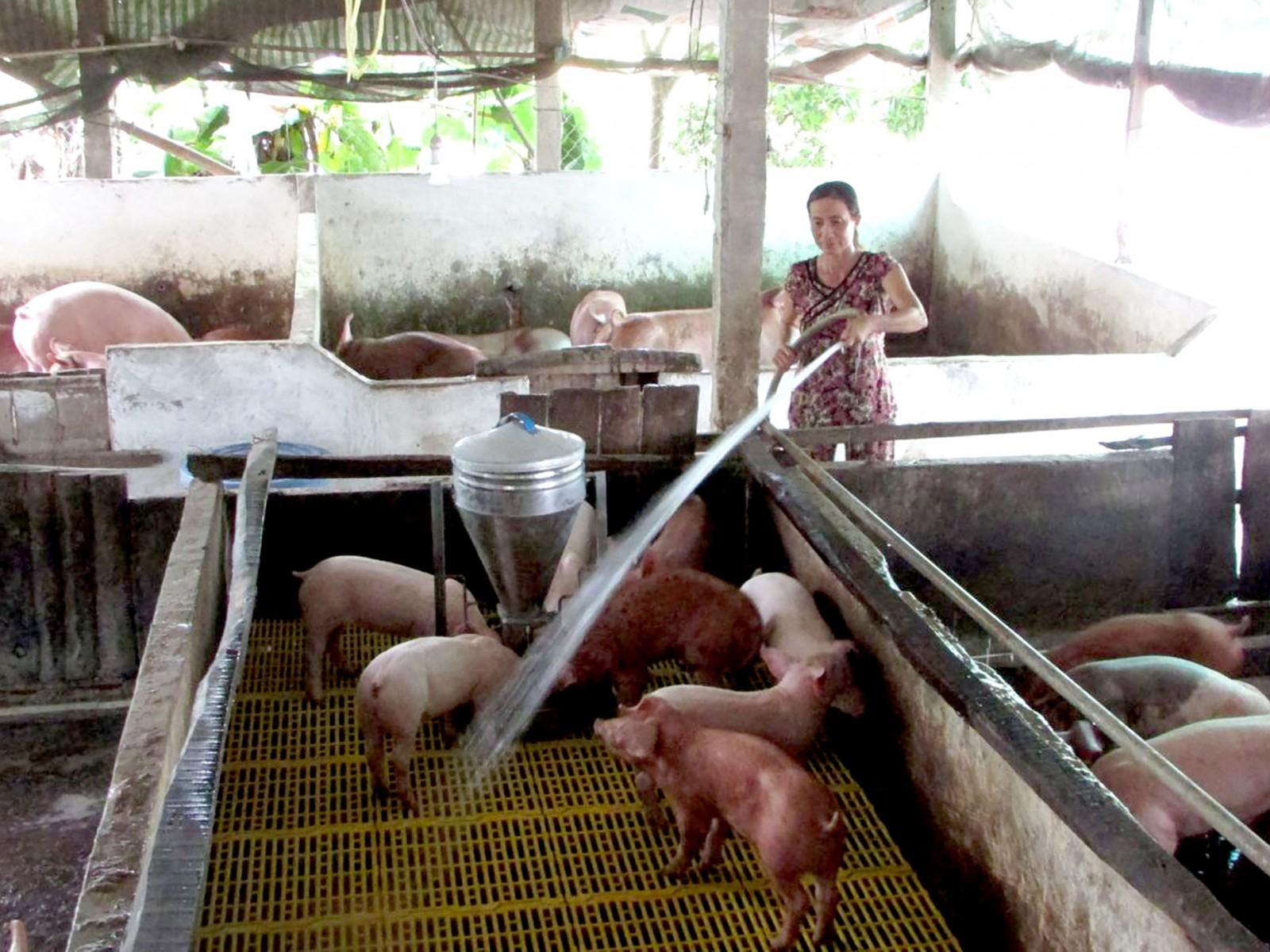 Đàn heo chăn nuôi áp dụng biện pháp an toàn sinh học được thực hiện tại hộ chăn nuôi ở huyện Vĩnh Thạnh, ngăn chặn bệnh DTHCP xâm nhập.