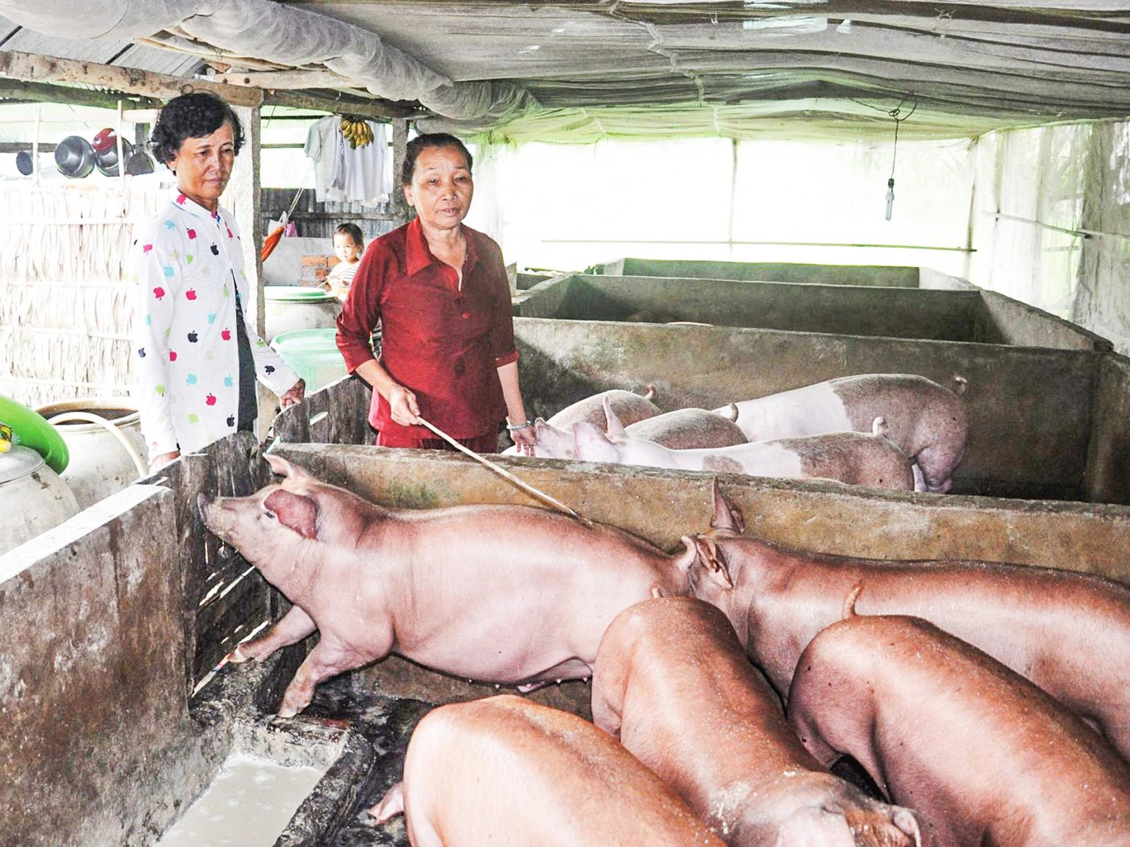 Đàn heo nuôi tại hộ gia đình trên địa bàn huyện Cờ Đỏ được chăm sóc tốt, an toàn trước bệnh dịch...