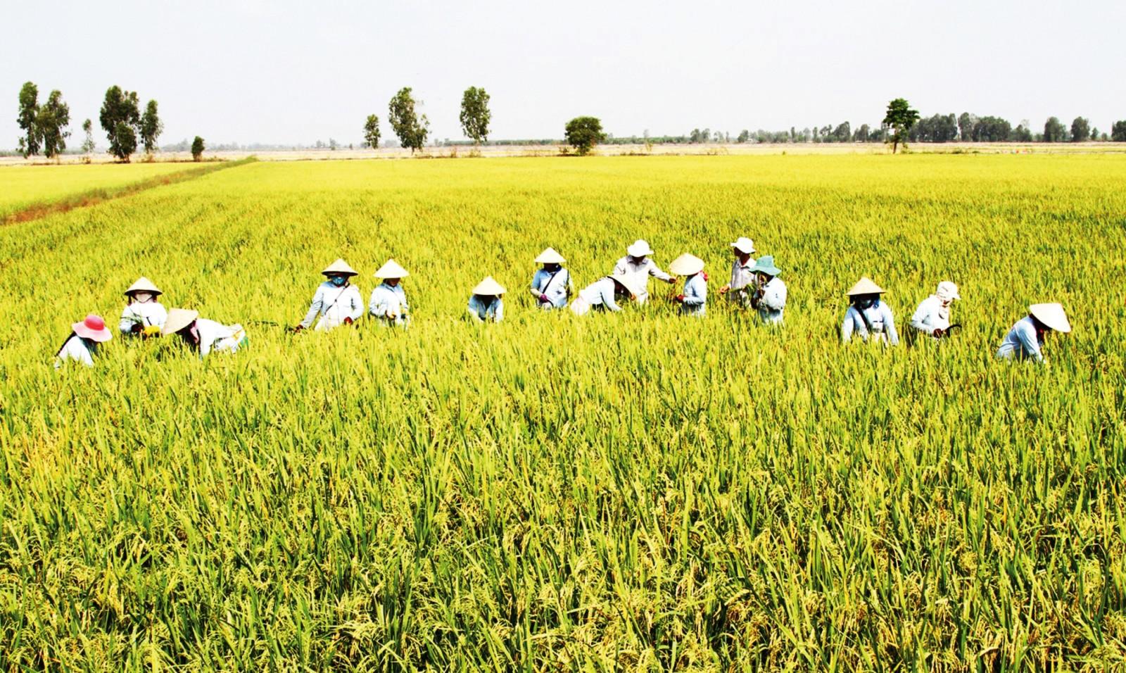 Mô hình sản xuất lúa giống thích nghi biến đổi khí hậu, xâm nhập mặn được triển khai thực hiện tại vùng ĐBSCL. Ảnh: B.T