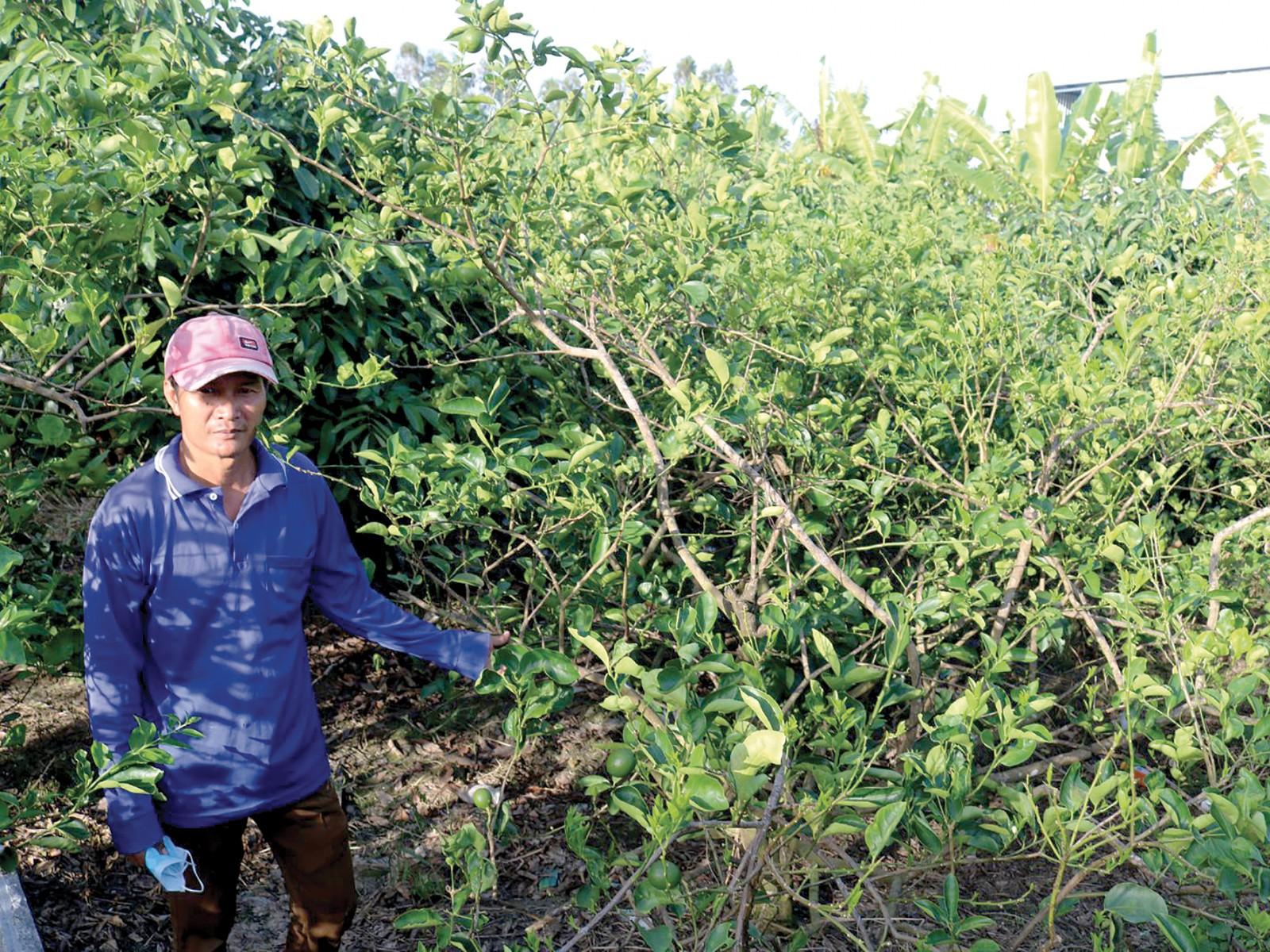 Trồng chanh không hạt tại hộ gia đình anh Nguyễn Thanh Hùng ở xã Trường Long, huyện Phong Điền.