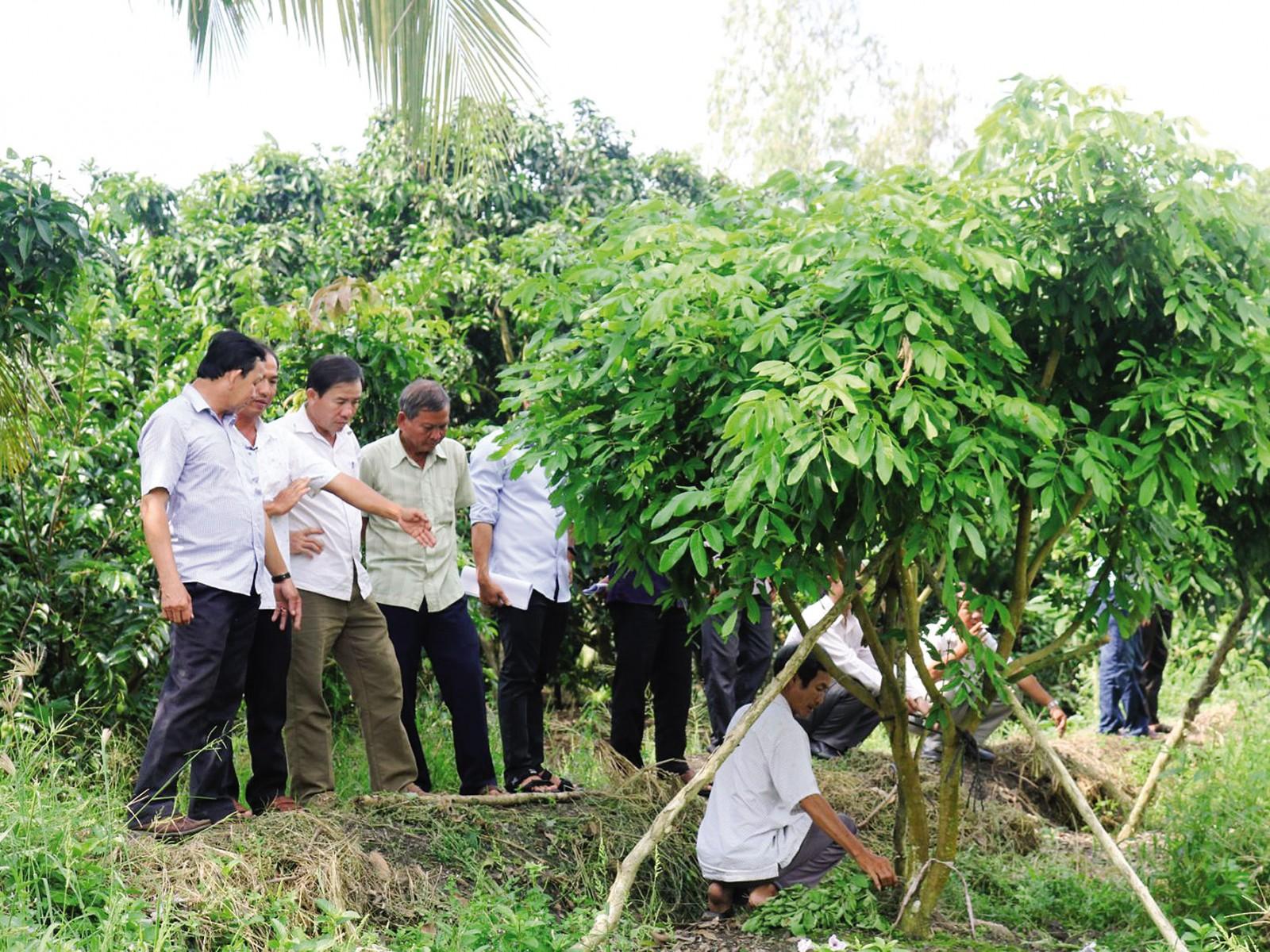 Nông dân tham quan mô hình trồng nhãn tại Hợp tác xã nhãn Thái Thanh ở ấp 3, xã Thới Hưng, huyện Cờ Đỏ.
