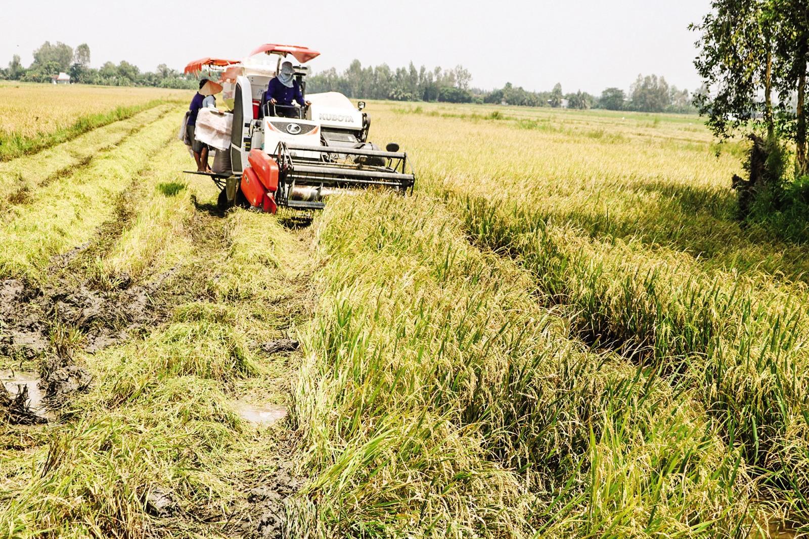 Thu hoạch lúa thu đông 2019 tại ruộng của chị Trần Ngọc Anh ở xã Đông Thuận, huyện Thới Lai, TP Cần Thơ.