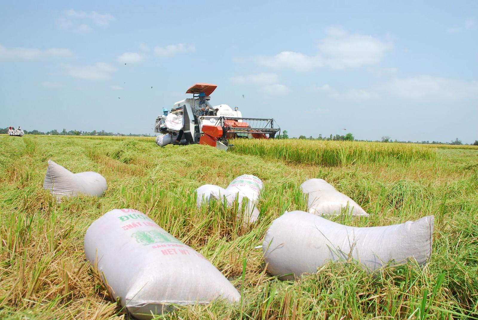 Thu hoạch lúa trong cánh đồng lớn ở Cái Bè, Tiền Giang. Ảnh: N.S