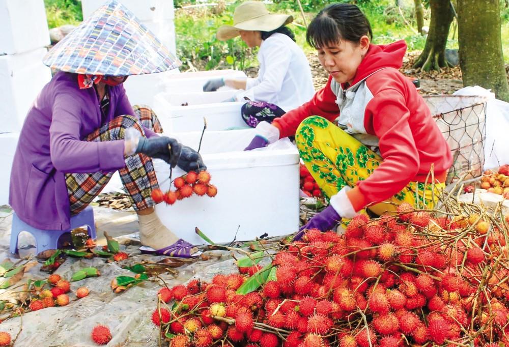 Thu hoạch chôm chôm nhãn tại một hộ dân ở huyện Chợ Lách, tỉnh Bến Tre.